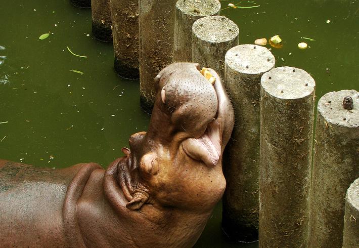 Экскурсия в зоопарк Кхао Кхео в Таиланде, Паттайя - бегемот