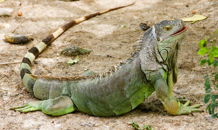 Экскурсия в зоопарк Кхао Кхео в Таиланде, Паттайя - Варан