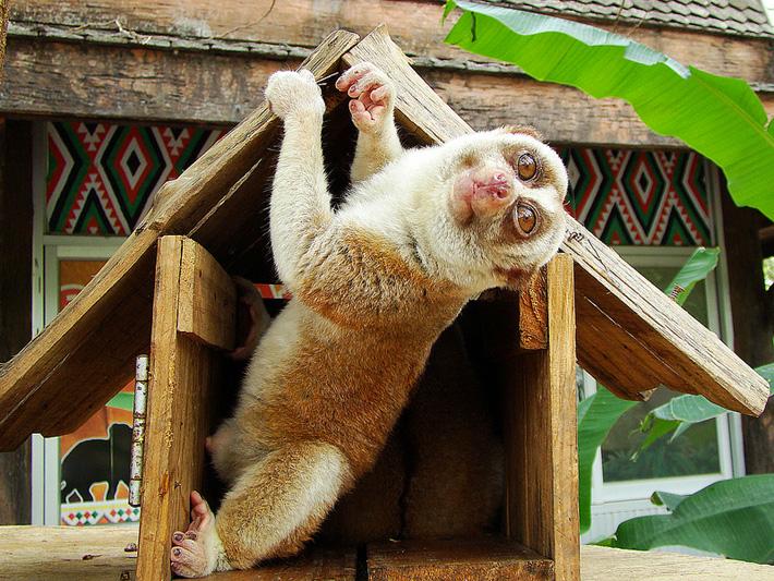 Экскурсия в зоопарк Кхао Кхео в Таиланде, Паттайя - лемур