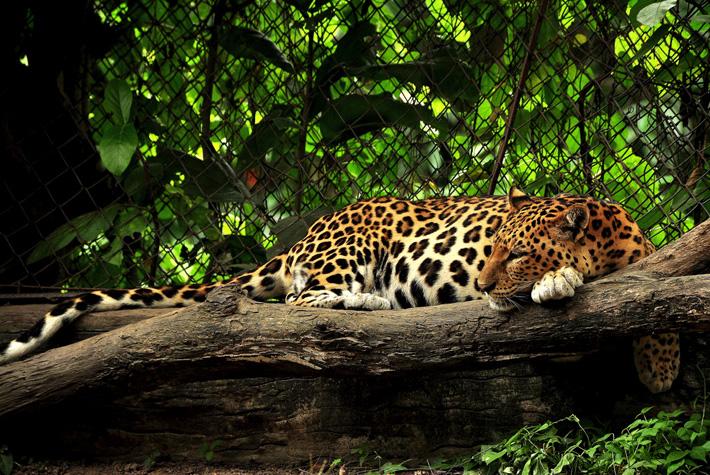 Экскурсия в зоопарк Кхао Кхео в Таиланде, Паттайя - леопард