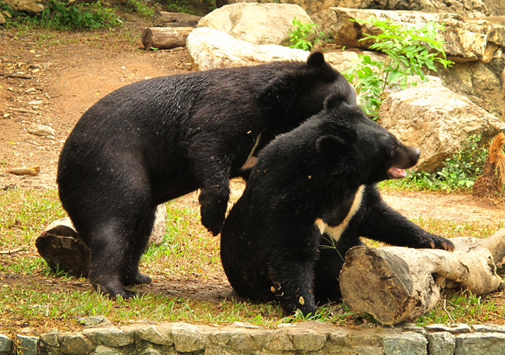Экскурсия в зоопарк Кхао Кхео в Таиланде, Паттайя - медведи