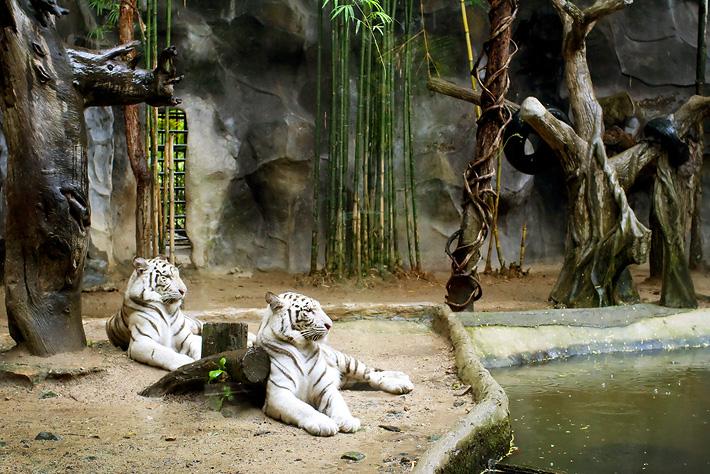 Экскурсия в зоопарк Кхао Кхео в Таиланде, Паттайя - белый тигр