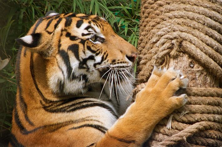 Экскурсия в зоопарк Кхао Кхео в Таиланде, Паттайя - тигр