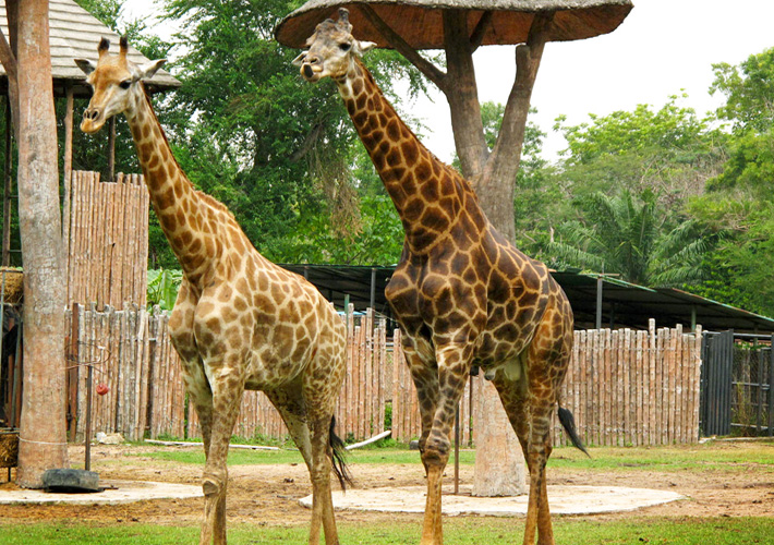 Зоопарк Кхао Кхео в Таиланде, Паттайя - жираф