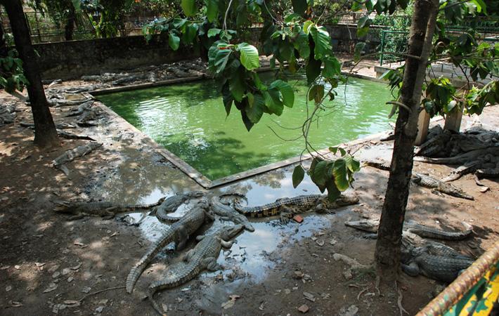 Крокодиловая ферма в Камбодже