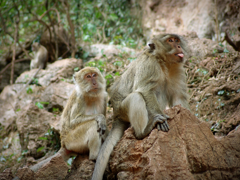 природа и животные тайланда - обезьяны