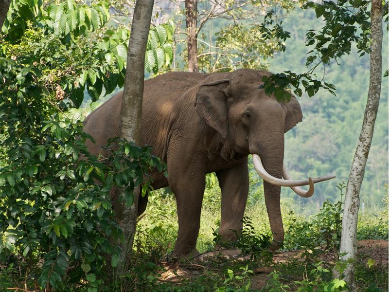 природа и животные тайланда - слон