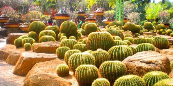 Тропический парк сад Нонг Нуч — Кактусы